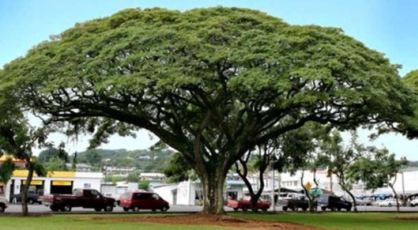 Manfaat Pohon Trembesi Bagi Lingkungan Dan Kesehatan